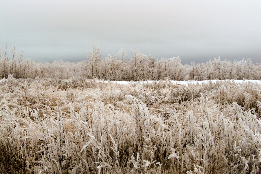 frosted grass-2