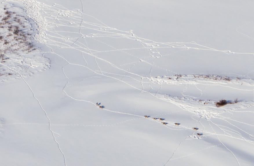 caribou-0053