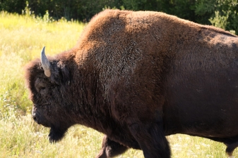 bison, british columbia