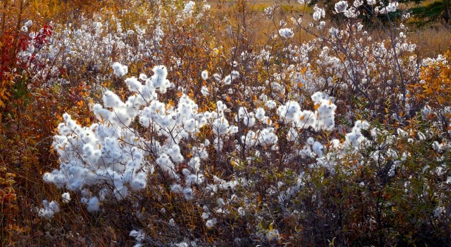16-2792-willow-cotton