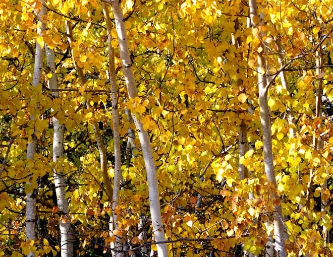 16-2800-aspen-treetops